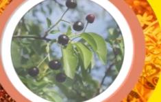 Магалебская вишня